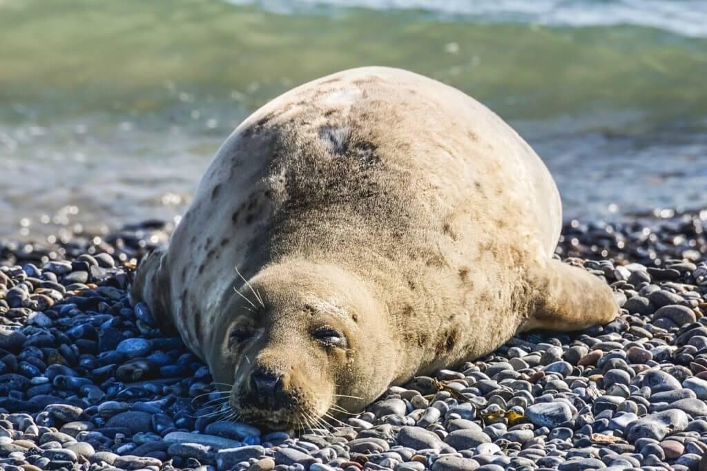Foka leżąca ze zmrużonymi oczami na kamienistym brzegu. W tle mała, zielonkawa fala morska.