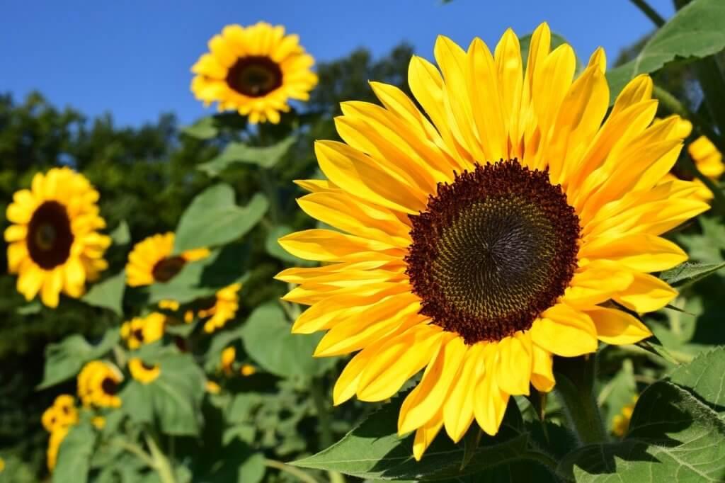 słoneczniki, jeden w zbliżeniu, reszta w tle